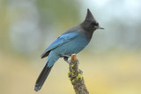 Steller's Jay 0907-4j  La Pine, OR