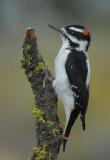 Hairy Woodpecker 0907-3j  La Pine, OR