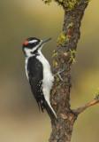 Hairy Woodpecker 0907-4j  La Pine, OR