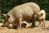 Découverte de la Castaniccia - Les fameux cochons Corses qui vivent en liberté !