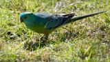 Grass Parrot: Lorikeet (Glossopsitta pusilla)