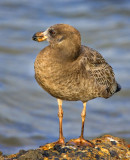 Pacific Gull, (Larus pacificus)