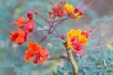 Mimosa flower2.psd