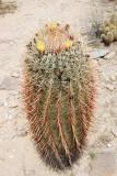 Flowering Barrell Cactus
