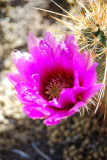 Flowering Prickly Pear Cactus
