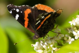 red admiral_3 copy.jpg