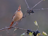 Female Northern Cardinal 15