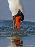 Mute Swan 7
