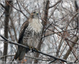 Red-tailed Hawk 13