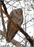 Red-tailed Hawk 14