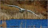 Mute Swan 8