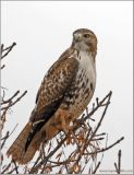 Red-tailed Hawk 16