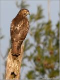 Red-tailed Hawk 17
