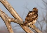 Red-tailed Hawk 18