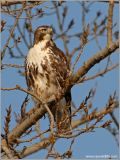 Red-tailed Hawk 19