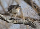 Red-tailed Hawk 20