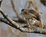 Red-tailed Hawk 21