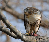 Red-tailed Hawk 22