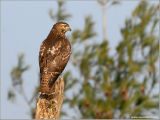 Red-tailed Hawk 26