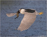 Black-crowned Night Heron 32