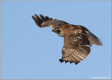 Red-tailed Hawk 30