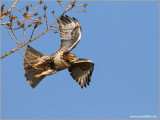 Red-tailed Hawk 31