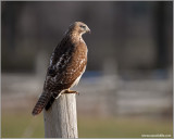 Red-tailed Hawk 33