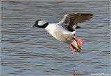 Male Bufflehead 10