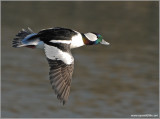 Male Bufflehead 11