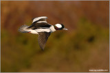 Male Bufflehead 12