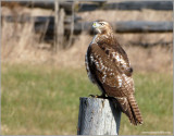 Red-tailed Hawk 34