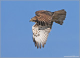 Red-tailed Hawk 35