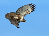 Red-tailed Hawk 36