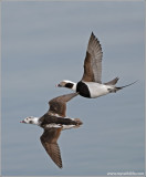 Long-tailed Ducks 3