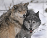 Timber Wolves 8