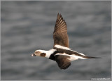 Male Long-tailed Duck 18b