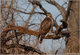 Red-tailed Hawk 37