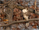 Red-tailed Hawk 39