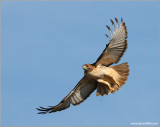 Red-tailed Hawk 42