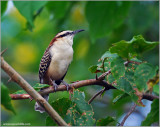 Rufous-naped Wren 1
