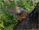 Green Iguana 2