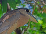 Boat-billed Heron 1