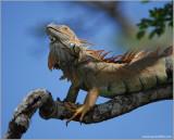 Green Iguana 3