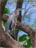 Great Blue Heron 22
