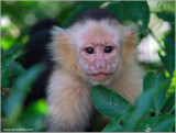 White-faced Capuchin Monkey 2