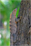 Spiny Tailed-Iguana 1