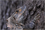 Black Spiny Tailed-Iguana 2