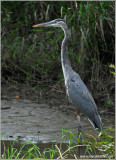 Great Blue Heron 23