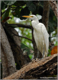 Cattle Egret 5