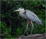 Great Blue Heron  49